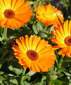 Calendula-Flower Essence