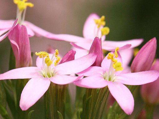 Centuary Flower Essence