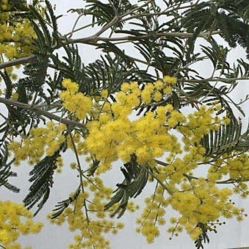 ACACIA Flower Essence 1