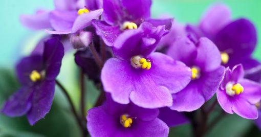 AFRICAN VIOLET Flower Essence 1
