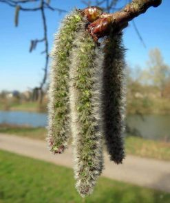 aspen flower essence