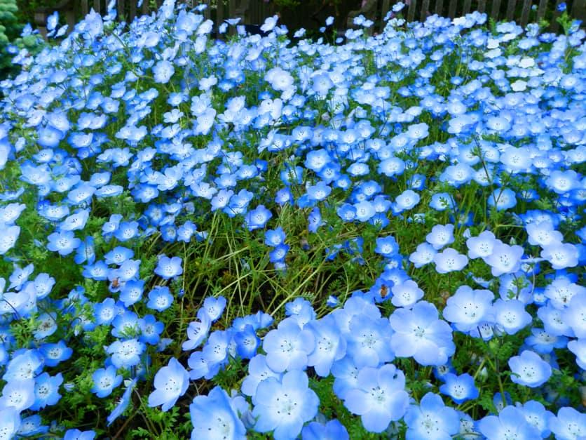 Baby Blue Eyes Flower Essence
