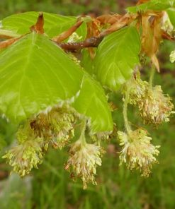 beech flower essence