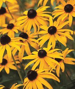 black eyed susan flower essence