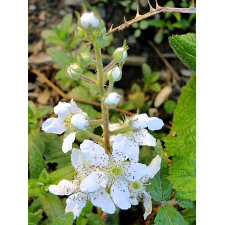 blackberry flower essence
