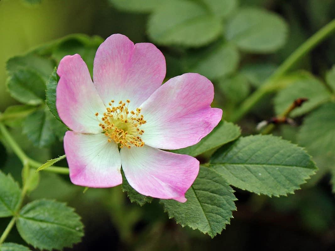 California Wild Rose Flower Essence Cosmic Oceans