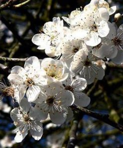 cherry plum flower essence