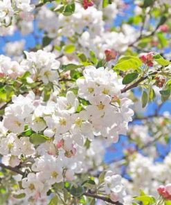 CRAB APPLE Flower Essence