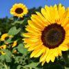 ACACIA Flower Essence 3