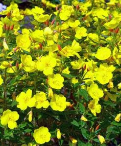 Evening-Primrose-flower essence