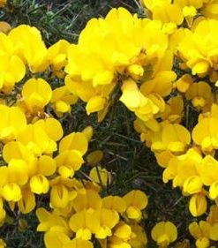 gorse flower essence