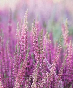 Heather Flower essence