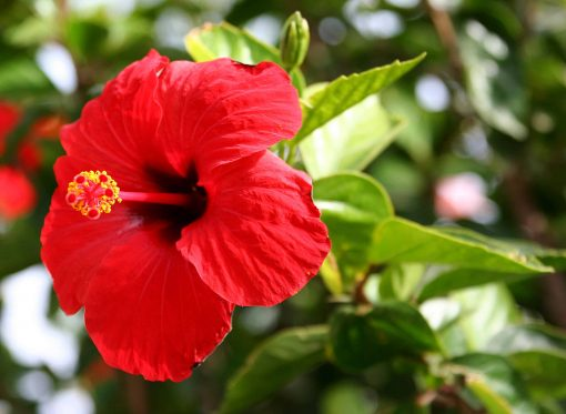 Hibiscus Flower Essence
