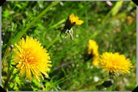 dandelionfloweressence