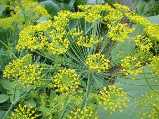 dill flower essence