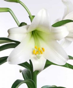 easter lily flower essence