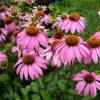 echinacea-purpurea-flower essence