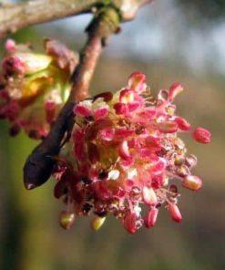 elm flower essence