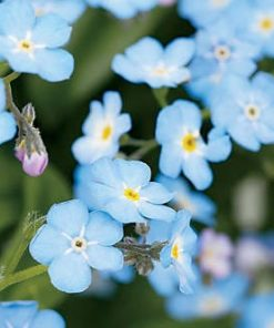 forget-me-not flower essence