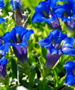gentian flower essence
