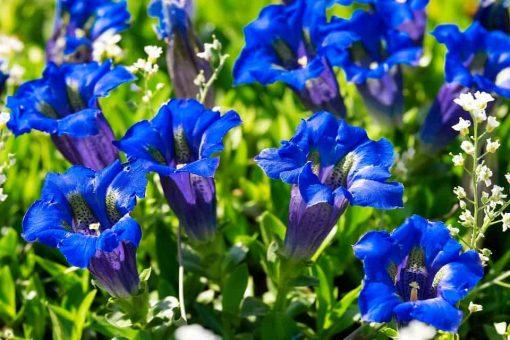 gentian flower essence