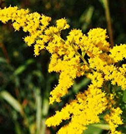 goldenrod flower essence