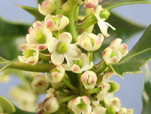 holly flower essence