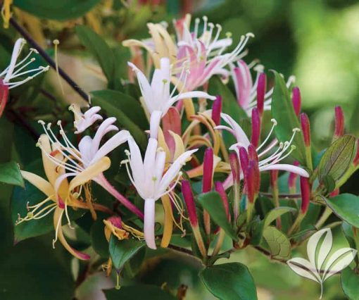 honeysuckle flower essence