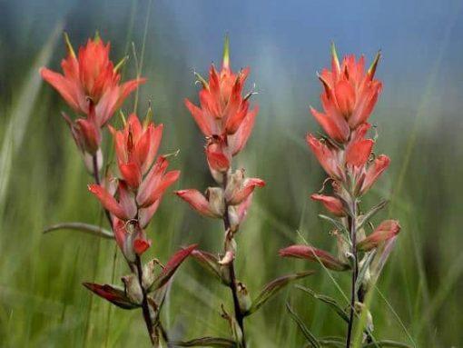 indian paintbrush flower essence