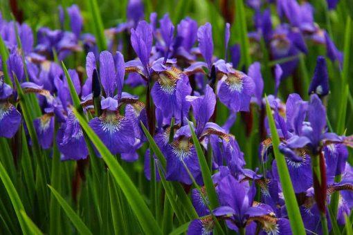 iris flower essence