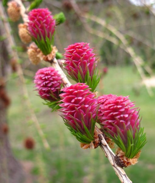 larch flower essence