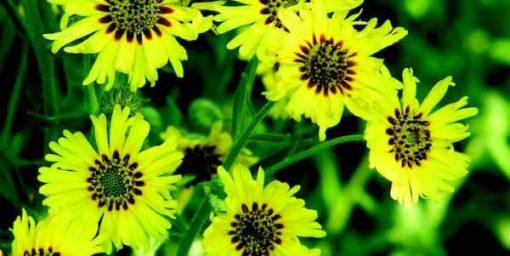 madia flower essence