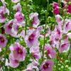 mallow flower essence