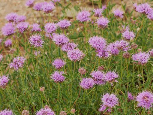 MOUNTAIN PENNYROYAL Flower essence