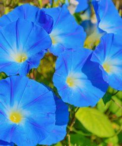 morning glory flower essence